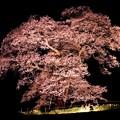 Photos: 孤高の桜