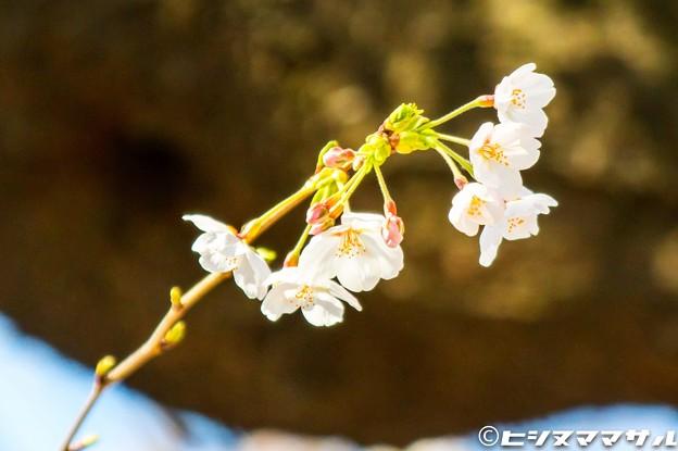 Photos: 桜 01