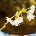 写真: 桜 01