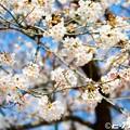写真: 桜 04