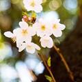 写真: 桜 09
