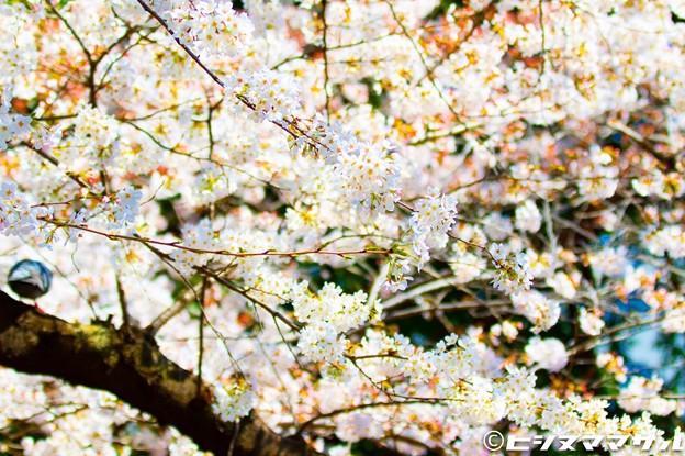 Photos: 桜 12