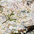 写真: 桜 17