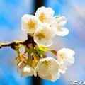 写真: 桜 18