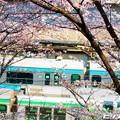 Photos: 桜 19