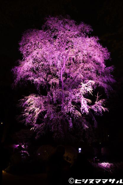 夜桜 02