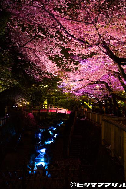 写真: 夜桜 04