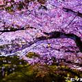 写真: 夜桜 06