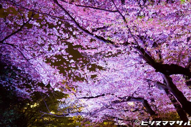 Photos: 夜桜 07