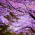 写真: 夜桜 07