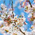 写真: 桜 21