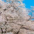 写真: 桜 23