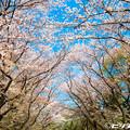 写真: 桜 26