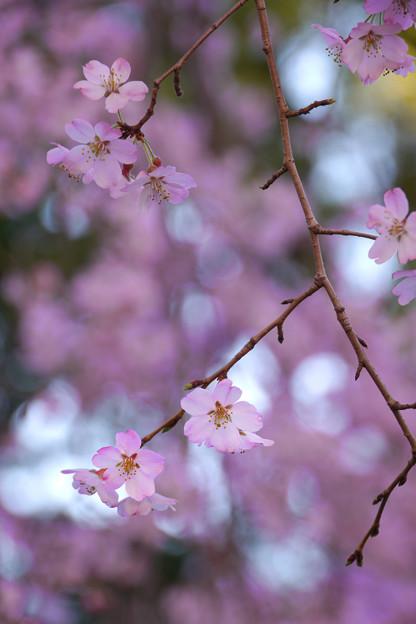しだれ桜886sc