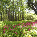 写真: クリンソウの森384a_stitch
