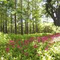 写真: クリンソウの森384_a2stitch