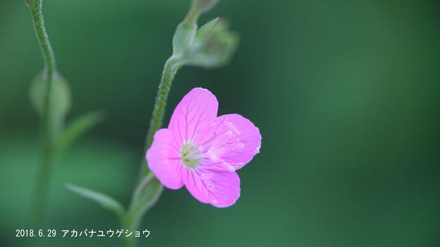 Photos: アカバナ713akabana