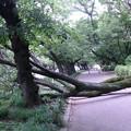 写真: 桜の倒木013a_stitch