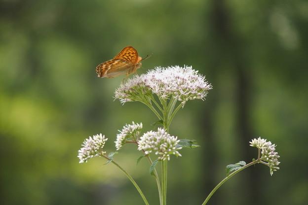 ヒヨドリと蝶271s