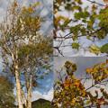 写真: 気になる木itayakaede