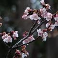 寒桜199