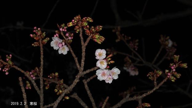 寒桜_53kanzakura