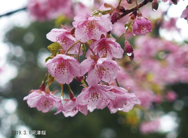 雨の河津桜_014kawadu
