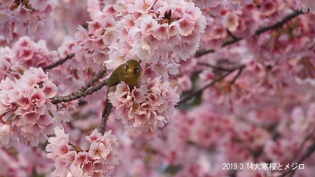 大寒桜とメジロ325mejiro
