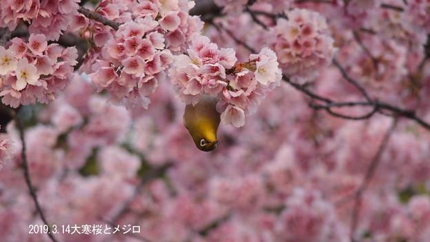 大寒桜とメジロ0341mejiro