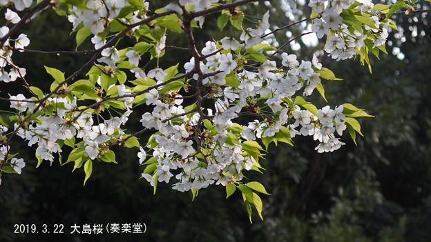 大島桜_260oosima2