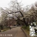 不忍池の大島桜323_374oosima