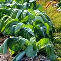 写真: 溢れる緑葉