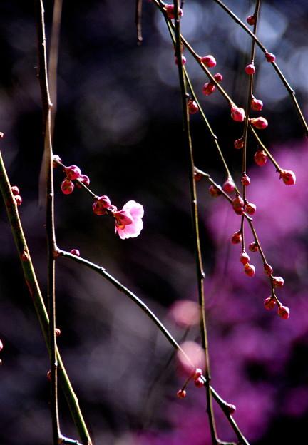 春日和の紅