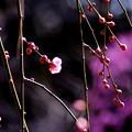 写真: 春日和の紅