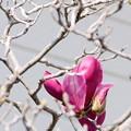 写真: 紅紫の夢
