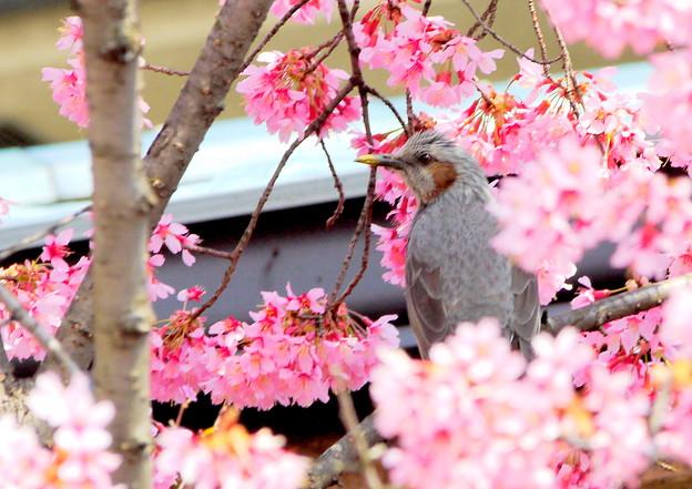 写真: 桜に埋もれ