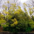 写真: 若草彩芽吹き