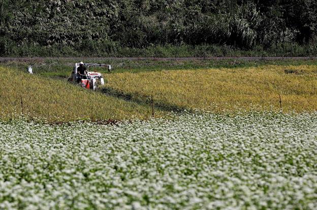 20190915a傘の蕎麦畑と稲刈り