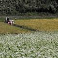 Photos: 20190915a傘の蕎麦畑と稲刈り