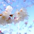 写真: 霧島市・特攻桜