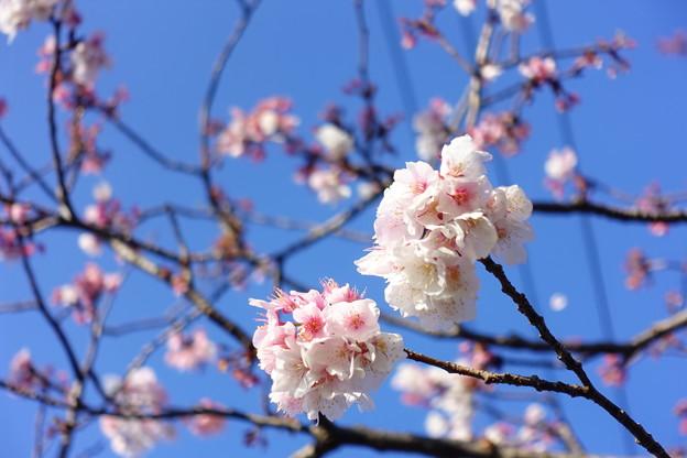 霧島市・特攻桜