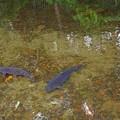 写真: ひょうたん池の鯉