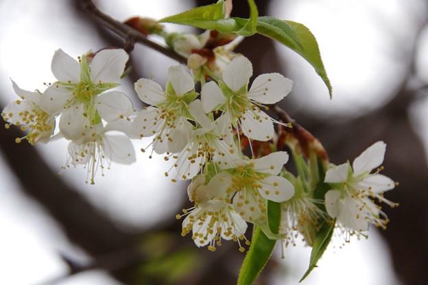 Photos: 花さくらんぼ