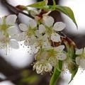 花さくらんぼ