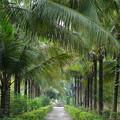 写真: 椰子並木