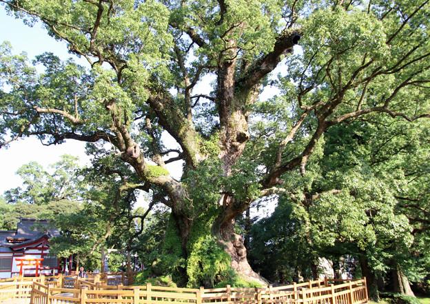 オオクスの木