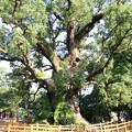 Photos: オオクスの木