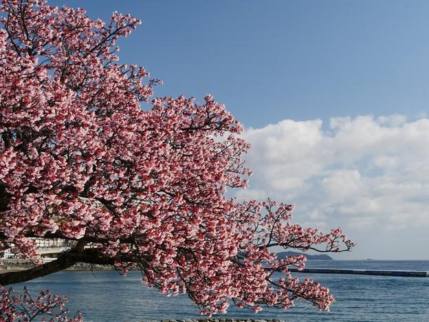 海辺のあたみ桜
