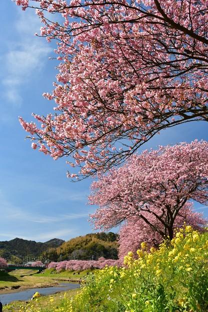 みなみの桜・菜の花