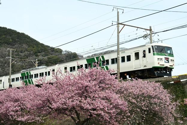 河津桜・踊り子